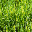 Closeup shot of Rice fields — Stock Photo #54978191