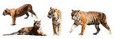 Set of tigers — Stock Photo
