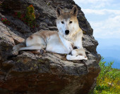 Wolf lays on rock — Stock Photo
