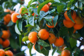 Tangerines branch with mandarins   — Stock Photo