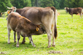 Brown cow and calf suckling at meadow   — Stock Photo