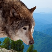 Head of wolf  against wildness  — Stock Photo
