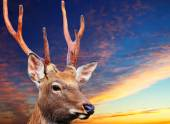 Sika deer against sunset sky — Stock Photo