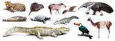 Set of  spectacled caiman and other animals of South America — Stock Photo