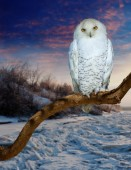 snowy owl  at  wildness  — Stock Photo