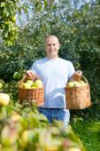 Man gathers apples — Stock Photo