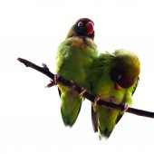 Black-Cheeked Lovebird — Stock Photo