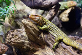 Caiman Lizard on tree in forest — Stock Photo