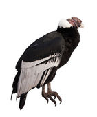 Andean condor. — Stock Photo
