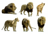 Set of  lions. — Stock Photo
