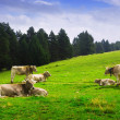 Cows in forest meadow — Stock Photo #59478225