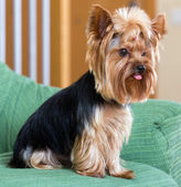 Yorkshire Terrier dog sitting on  sofa — Stock Photo