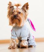 Yorkie dressed in overcoat — Stock Photo