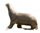 Earless seal — Stock Photo