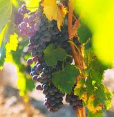 Weintraube Weinberge im Werk — Stockfoto