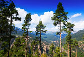 Pine trees at mountains — Stock Photo