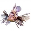 Red lionfish — Stock Photo #59481527