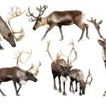 Set of few reindeer — Stock Photo #59482023