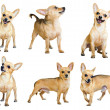 Set of Mini Toy Terriers — Stock Photo #59483101