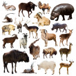 Постер, плакат: Set of Artiodactyla mammal animals