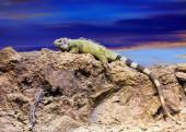 Iguana on stone at wildness   — Stock Photo