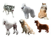 Set of dogs. — Stock Photo