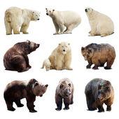 Set of polar and brown bears — Stock Photo