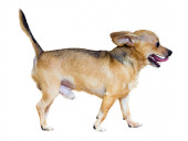 Moscow Toy Terrier — Stock Photo