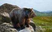 Bear on stone — Stock Photo