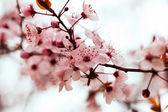 Almond tree branch — Stock Photo