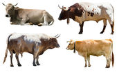Bulls and cows — Stock Photo