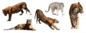 Tigers set — Stock Photo