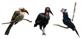 Set of  hornbills — Stock Photo