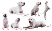 Set  of Dogo Argentino — Stock Photo