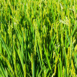 Rice fields closeup — Stock Photo #64253565