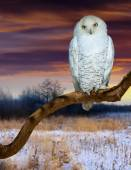 Snowy owl at  wildness in sunset — Stock Photo