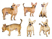 Set of  Toy Terriers — Stock Photo