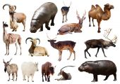 Hippo and Artiodactyla mammal animals — Stock Photo