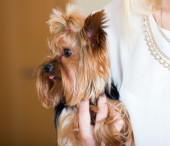 Woman caressing charming Yorkie terrier — Stock Photo