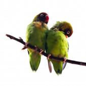 Black-Cheeked Lovebirds — Stock Photo