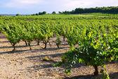 Vineyards plantation in sunny  day — Stock Photo