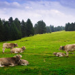 Cows in forest meadow in summer — Stock Photo #66545141