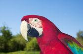 Ara rouge et vert à la sauvagerie — Photo