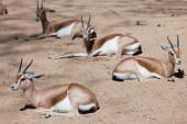 Saharian Dorcas Gazelles  in wildness — Stock Photo