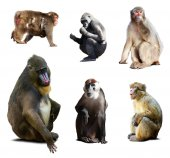 Mandrill and other monkeys — Stock Photo