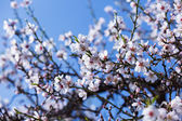 Almond tree  branch in spring — Stock Photo
