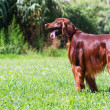 Постер, плакат: Red Irish Setter