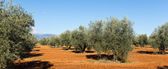 Olives plant at agricultural field   — Stock Photo