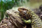 Northern Caiman Lizard on tree  — Stock Photo