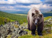 Brown bear in wildness area — Stock Photo